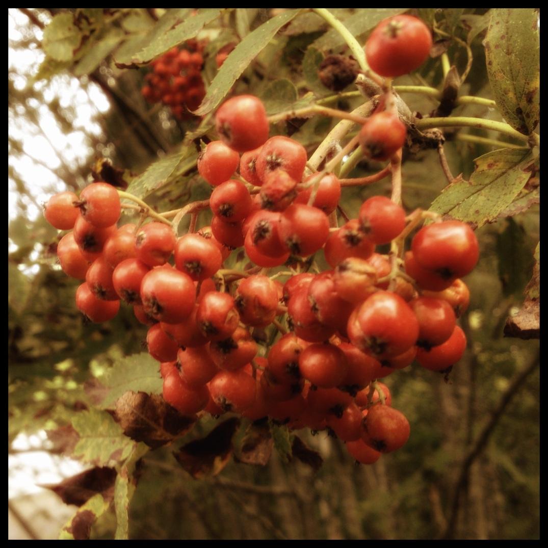 Rognebær