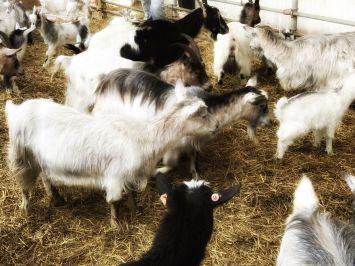 Goats at the Myrdal farm.