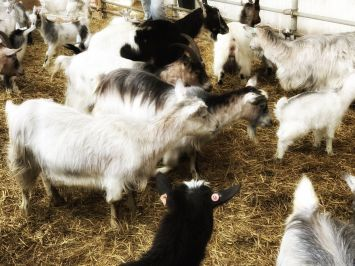 Goats at the Myrdal farm.